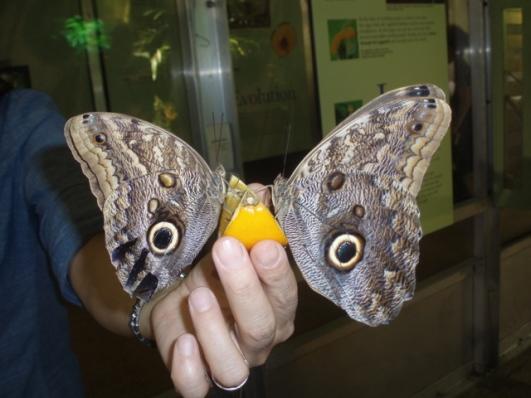 sultne-sommerfugle.jpg